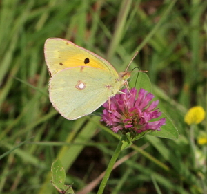 Clouded Yellow Suffolk