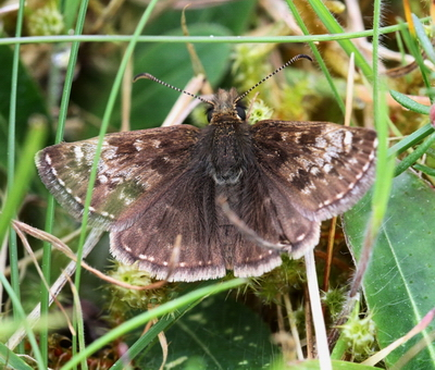 Dingy Skipper - Kings Forest Thetford