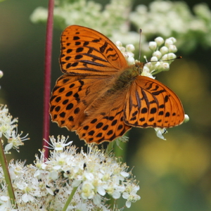 Silver-washed Fritilaary Suffolk
